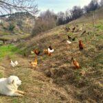 Maremmani, galline e rovi per salvare la biodiversità