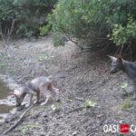Lupi di Roma: la quarta cucciolata è malata
